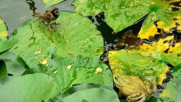 frog sparrow