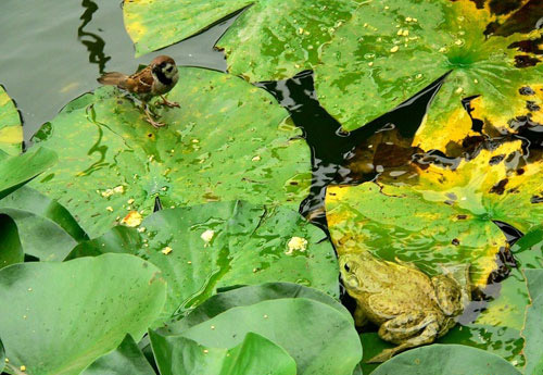 frogsparrow01